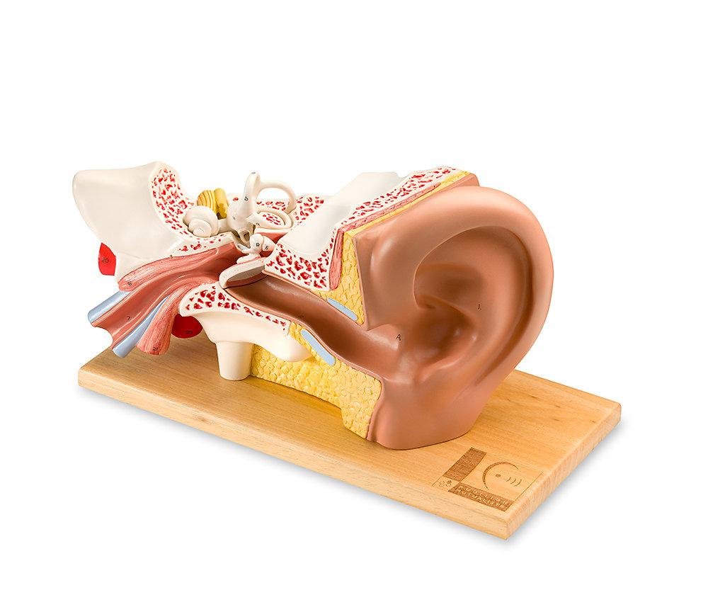 Coupe anatomique 3D d'oreille